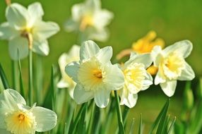 Ornamental daffodil plants