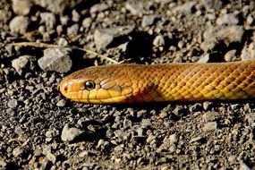 yellow snake on stone soil close-up