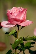 nature flowers rose pink macro photo