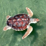 loggerhead sea turtle swimming portrait