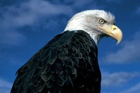 The eagle is a majestic bird of prey