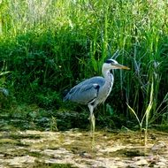 birds grey heron