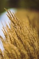 grass grain macro photo