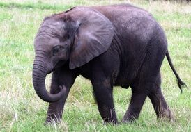 an elephant walks through the grass at the zoo