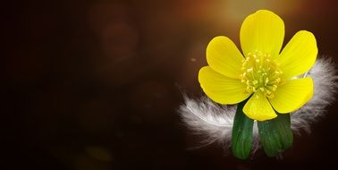 white feather on a yellow flower