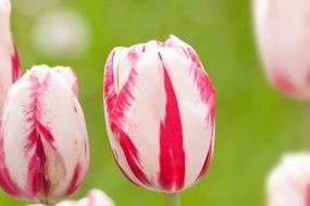 Colorful tulips on a blurred background