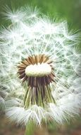 Pointed dandelion flower