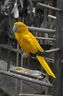 yellow arara in monochrome