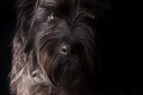portrait of a schnauzer in the dark