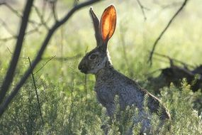 looking jackrabbit in wildlife