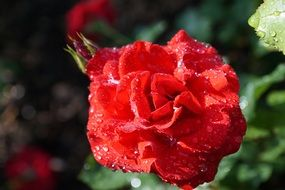 rose bud with water drops