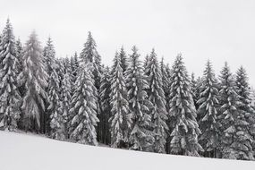 snow-covered spruce in the forest