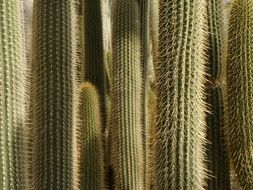 Picture of prickly cactuses