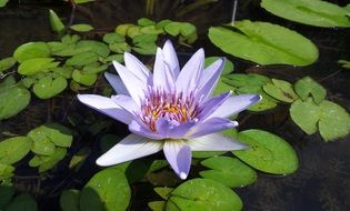 lotus flower among leaves in a pond