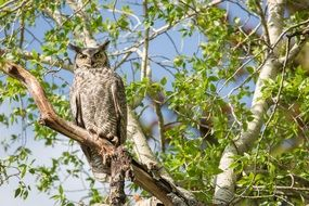 great horned owl on the branch