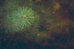 pine forest branch macro photo