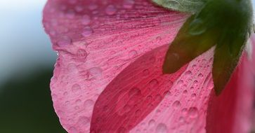 Pink flower petals in dew drops