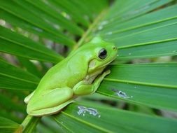 Green frog on a green leaf