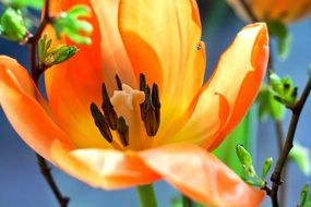 cute tulip macro orange blossom bloom