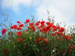 red bright poppies