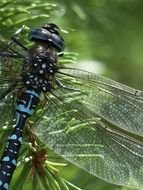 blue dragonfly with transparent wings close-up