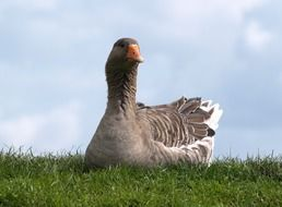 Domestic goose bird