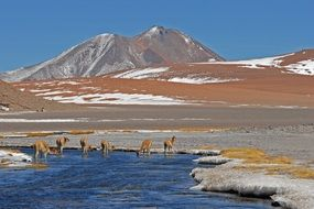 alpacas on a lake near the mountains