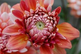 Beautiful dahlias in summer