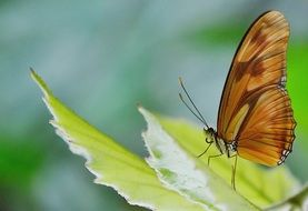 brown butterfly on a light green leaf