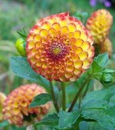 orange yellow dahlia flowers