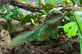 green iguana in wildlife