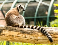 ring tailed lemur on a wooden beam