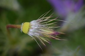 Pulsatilla vulgaris is a species of flowering plant
