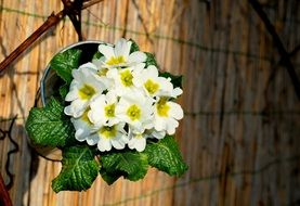 white primrose with green leaves