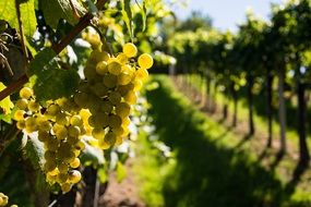 yellow wine grapes on branch