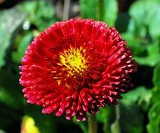 bright red garden flower