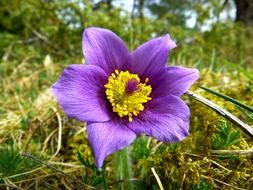 purple pulsatilla vulgaris with yellow stamens