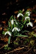 white snowdrop flowers spring mood