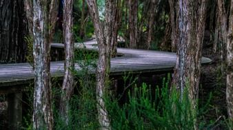 boardwalk trees twist curved wood