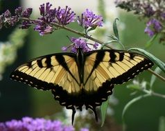 eastern tiger swallowtail butterfly on Buddleja davidii flowers, Papilio glaucus