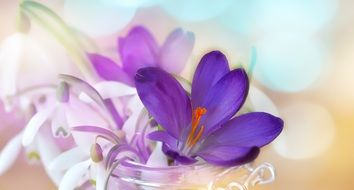 White and purple crocus flowers in spring