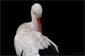 white stork black wall aback