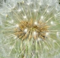 dandelion seeds on a flower
