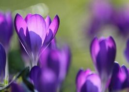 bright purple crocuses in the sunlight