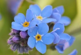 macro photo of blue forget me not flowers
