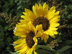 wonderful sunflower