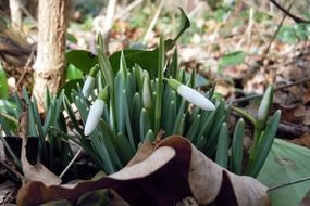 snowdrop white tender buds