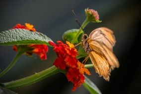 yellow butterfly on red Kalanchoe