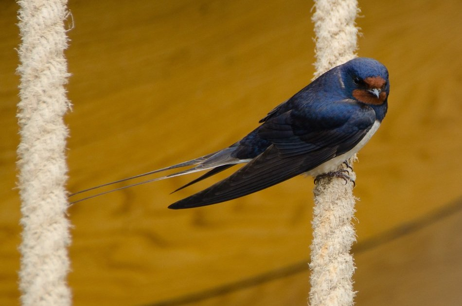 A swallow sits on the clothesline