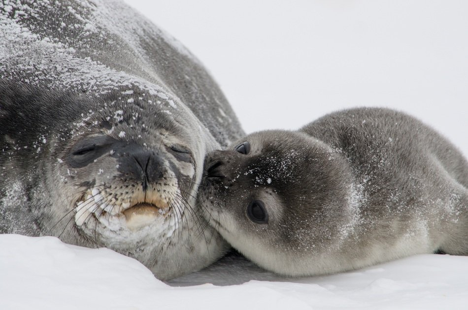 seals baby pup mother kisses